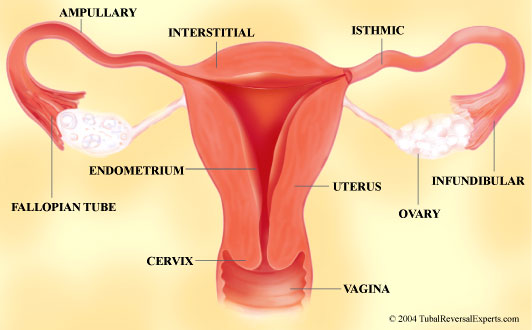 Anatomy of women's reproductive system